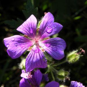 Wald Storchschnabel Bluete lila Geranium sylvaticum 05
