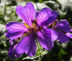 Wald Storchschnabel Bluete lila Geranium sylvaticum 06