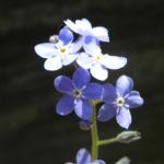Wald Vergissmeinnicht Bluete blau Myosotis sylvatica 04