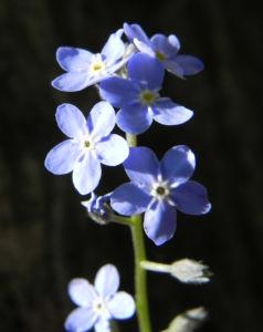 Wald Vergissmeinnicht Bluete blau Myosotis sylvatica 05