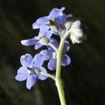 Wald Vergissmeinnicht Bluete blau Myosotis sylvatica 08