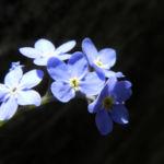 Wald Vergissmeinnicht Bluete blau Myosotis sylvatica 10