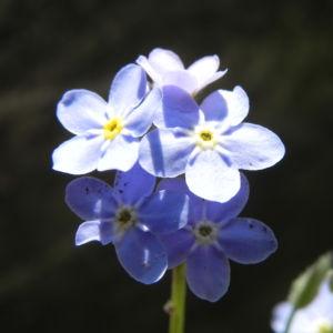 Wald-Vergissmeinnicht Blüte blau Blatt grün Myosotis sylvatica