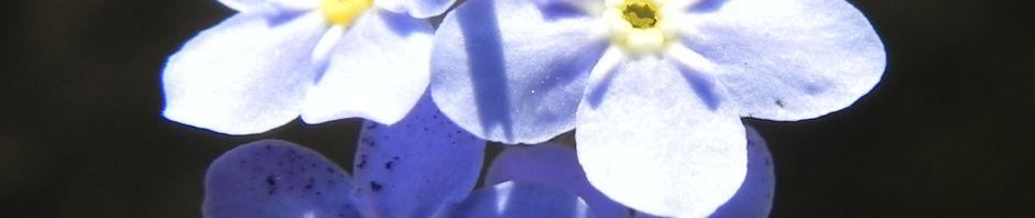 wald-vergissmeinnicht-bluete-blau-blatt-gruen-myosotis-sylvatica