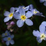 Wald Vergissmeinnicht Myosotis sylvatica 01