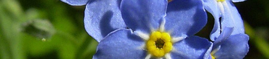 Anklicken um das ganze Bild zu sehen Wald-Vergissmeinnicht Blüte blau Myosotis sylvatica
