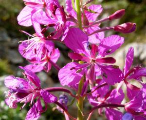Wald Weidenroeschen Bluete pink Epilobium angustifolium 02