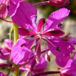 Wald Weidenroeschen Bluete pink Epilobium angustifolium 04