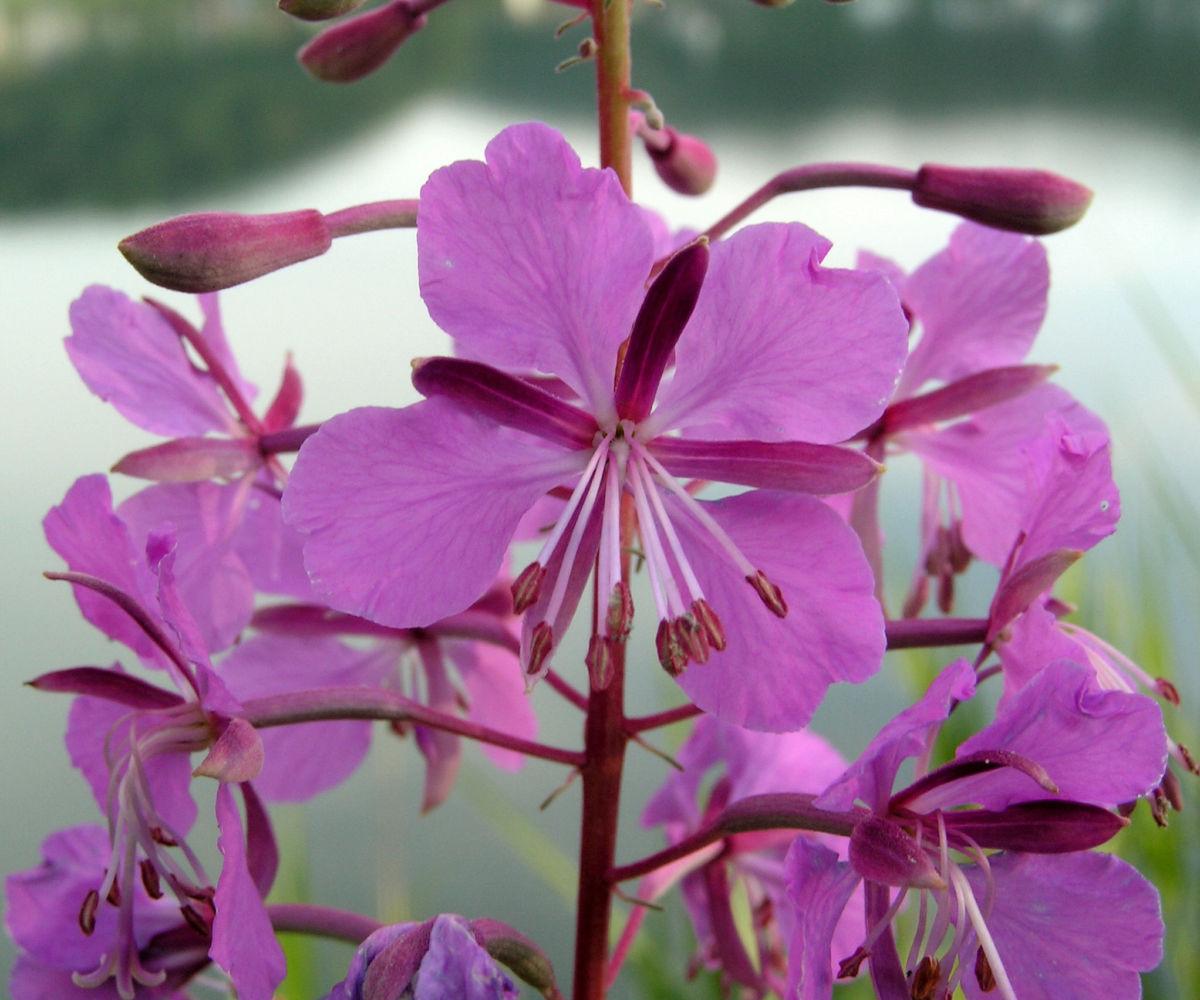 Wald Weidenroeschen Bluete pink Epilobium angustifolium