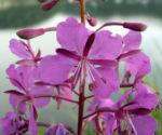Wald Weidenroeschen Bluete pink Epilobium angustifolium 05