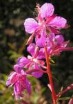 Wald Weidenroeschen Bluete pink Epilobium angustifolium 06