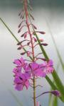 Wald Weidenroeschen Bluete pink Epilobium angustifolium 07
