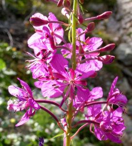 Wald Weidenroeschen Bluete pink Epilobium angustifolium 08