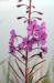 Zurück zum kompletten Bilderset Waldweidenröschen Blüte pink Epilobium angustifolium