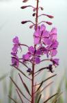 Bild: Waldweidenröschen Blüte pink Epilobium angustifolium