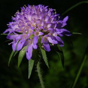 Wald Witwenblume Knautia dipsacifolia 03