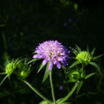 Wald Witwenblume Knautia dipsacifolia 05