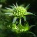 Zurück zum kompletten Bilderset Wald-Witwenblume Blüte lila Knospe grün Knautia dipsacifolia
