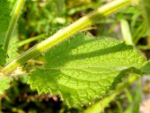 Wald Ziest Waldnessel Bluete roetlich gefleckt Stachys sylvatica 04