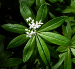 Waldmeister Blatt gruen Galium odoratum 03