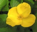 Waldmohn Blume Bluete gelb Hylomecon japonica 02