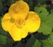Zurück zum kompletten Bilderset Waldmohn Blume Blüte gelb Hylomecon japonica