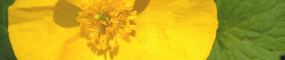 waldmohn-blume-bluete-gelb-hylomecon-japonica