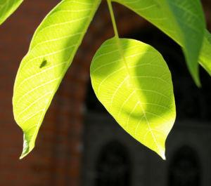 Walnuss Baum Blatt Frucht gruen Juglans regia 02