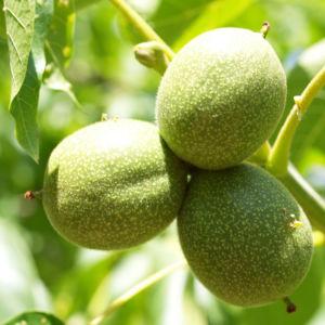 Walnuss Baum Blatt Frucht gruen Juglans regia 03
