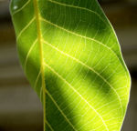 Walnuss Baum Blatt Frucht gruen Juglans regia 04