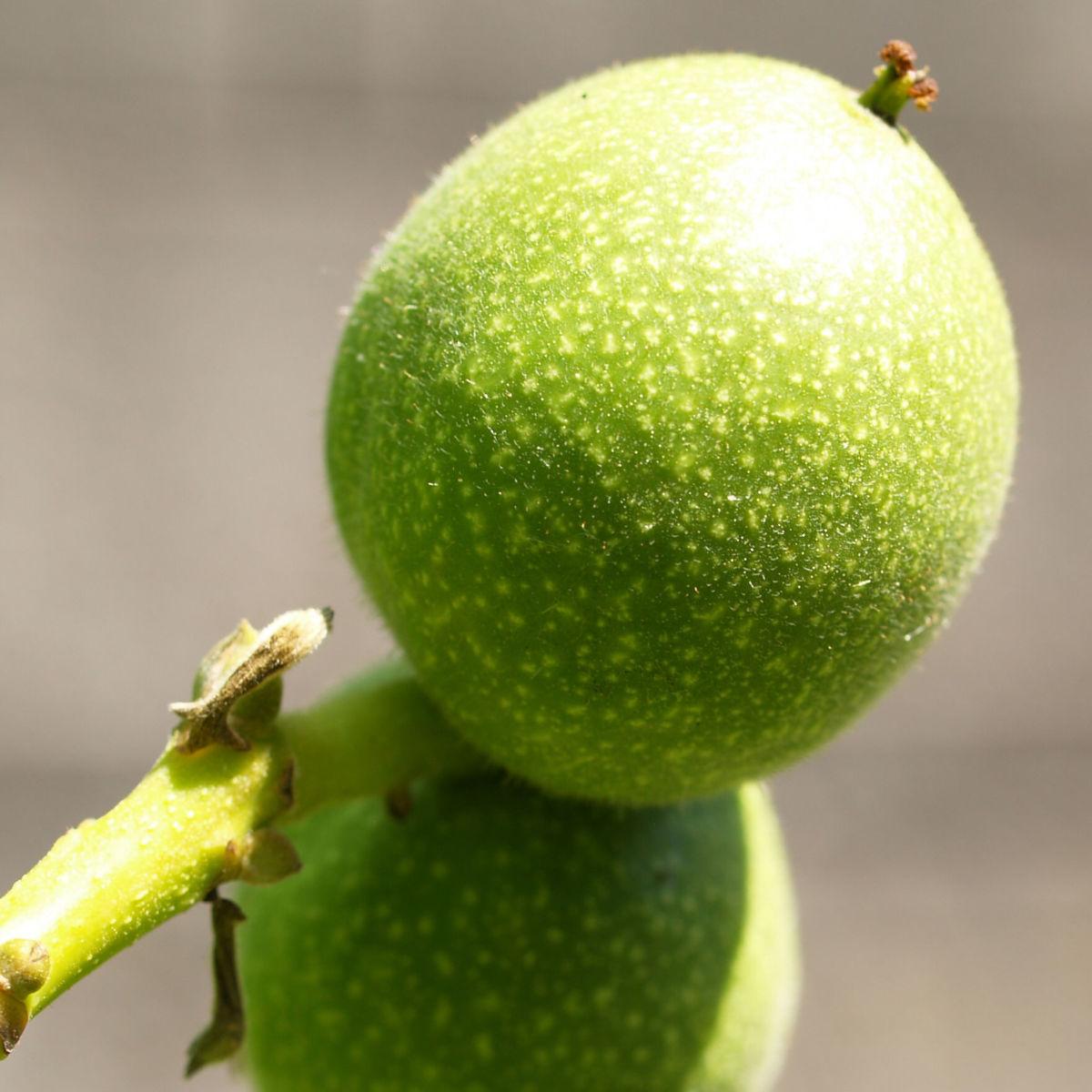 Walnuss Baum Blatt Frucht gruen Juglans regia