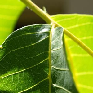 Walnuss Baum Blatt Frucht gruen Juglans regia 08