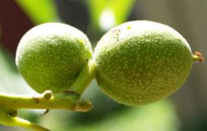 Walnuss Baum Blatt Frucht gruen Juglans regia 09
