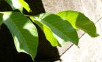Walnuss Baum Blatt Frucht gruen Juglans regia 10