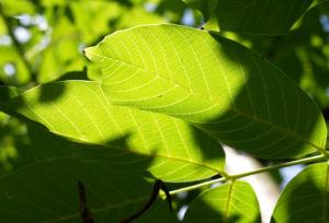 Walnuss Baum Blatt Frucht gruen Juglans regia 12