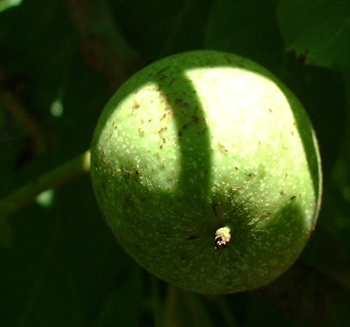 Walnuss Baum Blatt gruen Juglans regia