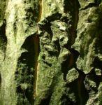Walnuss Baum Blatt gruen Juglans regia 03