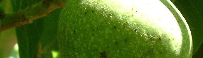 Anklicken um das ganze Bild zu sehen Echter Walnuss Baum Blatt grün Juglans regia