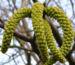 Zurück zum kompletten Bilderset Echte Walnuss Blütenrispe Frucht grün Juglans regia