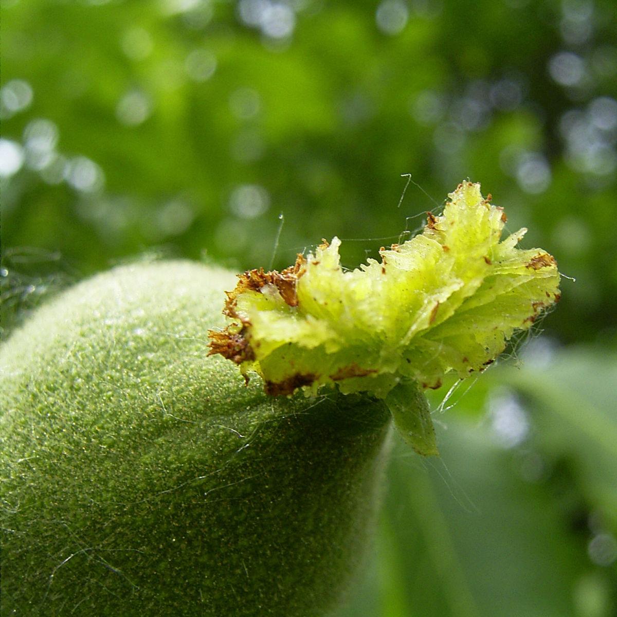 Walnuss Bluete Frucht gruen Juglans Regia