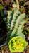 Zurück zum kompletten Bilderset Walzen-Wolfsmilch Scheinblüte gelbgrün Euphorbia myrsinites