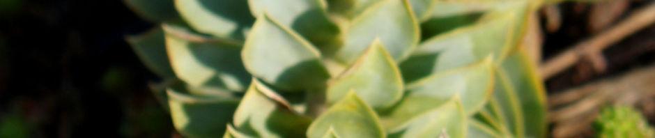 walzen-wolfsmilch-scheinbluete-gelbgruen-euphorbia-myrsinites