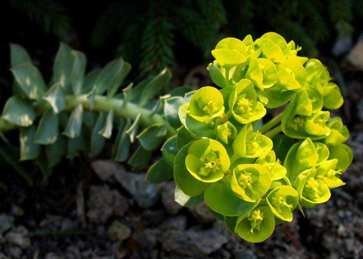 Walzen Wolfsmich Scheinbluete gelb gruen Euphorbia myrsinites