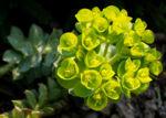 Walzen Wolfsmich Scheinbluete gelb gruen Euphorbia myrsinites 05