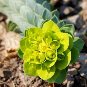 Walzen Wolfsmich Scheinbluete gelb gruen Euphorbia myrsinites 07