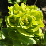Walzen Wolfsmich Scheinbluete gelblich Euphorbia myrsinites 02 1