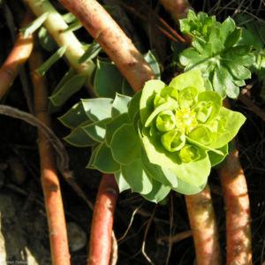 Walzen Wolfsmich Scheinbluete gelblich Euphorbia myrsinites 03 1