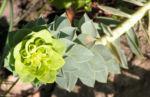 Walzen Wolfsmich Scheinbluete gelblich Euphorbia myrsinites 05 1