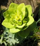 Walzen Wolfsmich Scheinbluete gelblich Euphorbia myrsinites 06 1