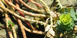 Walzen Wolfsmich Scheinbluete gelblich Euphorbia myrsinites 07 1